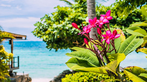 Branch of tropical pink flowers frangipani plumeria with palm tree, beach and ocean in background