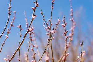 Branches of blooming tree with pink flowers against blue sky. Springtime. Spring nature.