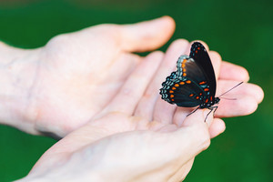 Butterfly perched on the hands of a man outside
