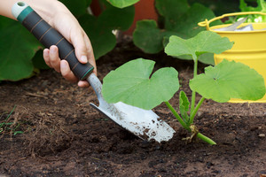 Caring for Growing (Squash) Plants in a Garden