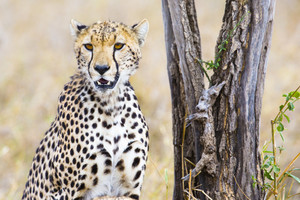 Cheetah sits under tree and looks after enemies in Serengeti
