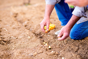 Close up, hands of unrecognizable senior man planting onions in row against dirt