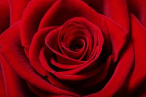 Close up image of beautiful red rose