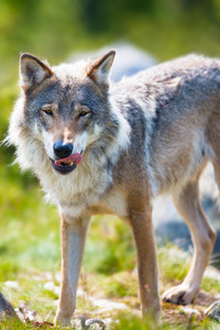 Close up of a wolf in the norwegian summer forest. Standing with his tongue out and after eating.