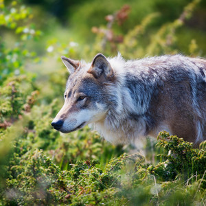 Close up of a wolf in the norwegian summer forest.
