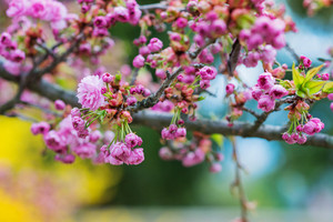 Close up of blooming tree branches with pink flowers and little green leaves. Springtime.