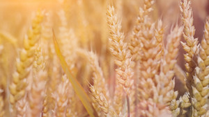 Close up of dry ripe golden wheat ears in sun flares