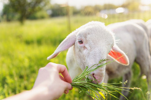 Close up of hand of man feeding sheep with grass. Green sunny meadow.