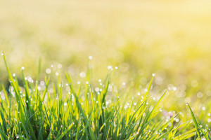 Close up of morning dew drops on blades of green grass during sunrise