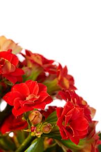 Close-up of scarlet amaryllises over white background