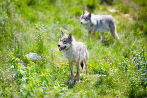 Close up of two wolves in the green norwegian summer forest.