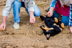 Close up of unrecognizable senior couple planting onions in row into the ground, black dog