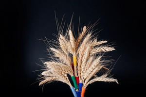 Closeup of golden wheat isolated on black background