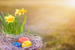 Colorful easter eggs laid in nest and beautiful spring daffodils.