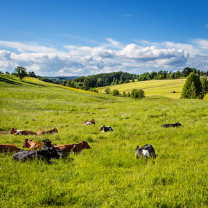 Cows and bulls rests in the grass in a beautiful landscape.