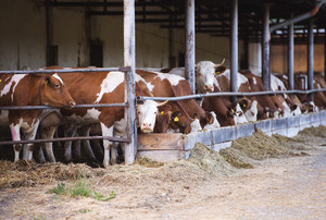 Cows eating hay  in a farm cowshed