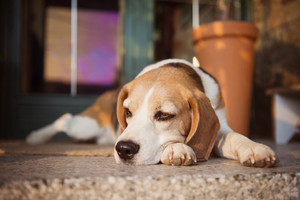 Cute beagle dog guarding and lying in front of the house