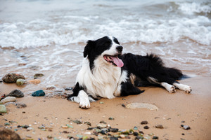 Cute dog lying and resting on the beach