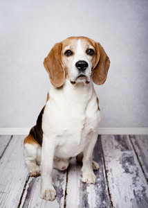 Cute hunting dog  portrait on wooden floor