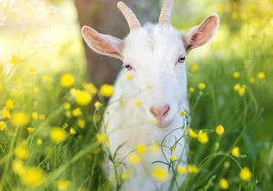 Cute little goat outside on a green meadow on a sunny summer day