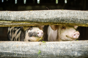 Cute pigs are in the old barn