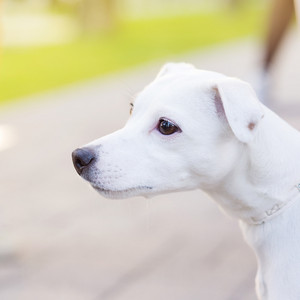 Cute white dog is looking to side in park