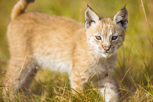 Cute young lynx cub plays in the meadow