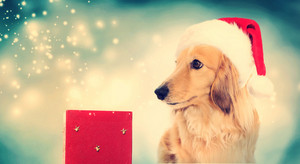 Dachshund dog wearing Santa hat with red Christmas box