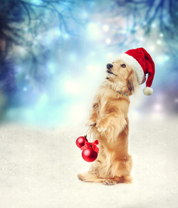 Dachshund dog with Santa hat holding two Christmas baubles