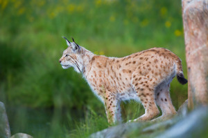 Eurasian lynx cat standing by a tree and looks for pray or danger.