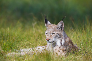 Eurasian lynx rests in the green grass.