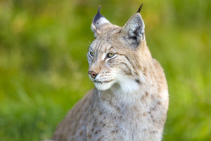 Eurasian lynx sitting in the green grass