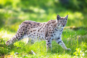 Eurasian lynx sneaks or stalking in the green forest.