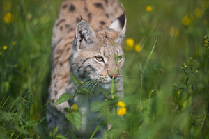 Eurasian lynx sneaks or stalking in the green grass.