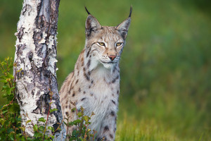 Eurasian lynx standing by a tree in the green grass.