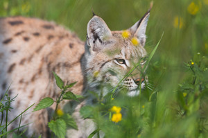 Eurasian lynx walking in the green grass.