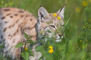 Eurasian lynx walking in the green grass.