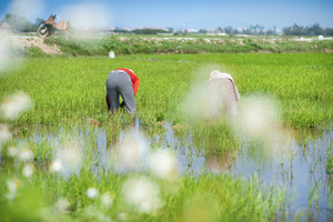 Farmers working in rice field in Vietnam