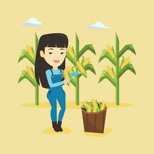 Female asian farmer holding a corn cob on the background of corn field. Farmer collecting corn. Happy smiling farmer standing near basket with corn. Vector flatdesign illustration. Square layout.