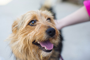 Female hand patting smiling brown dog head