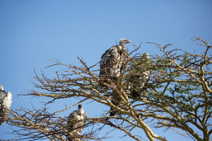 Flock of vultures sitting in a tree Serengeti Tanzania, Africa.