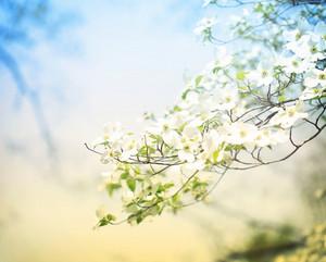 Flowering spring dogwood tree in vintage style
