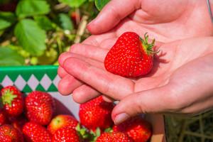 Fresh picked strawberrie helds in open hands