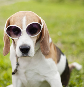 Funny beagle dog wearing sunglasses relaxing in green park