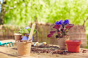 Garden pots and violets on wooden table with tools and soil near by