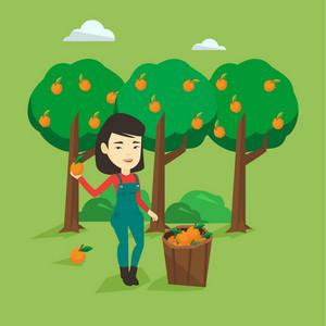 Gardener holding an orange on the background of orange trees. Female asian gardener collecting oranges. Gardener standing near basket with oranges. Vector flat design illustration. Square layout.