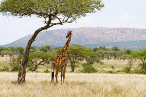 Giraffe standing under a tree and rests in the shadow. Photography from Tanzania, Serengeti Africa.