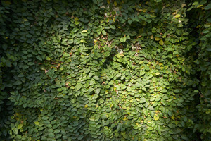 Green leaves on the wall background texture