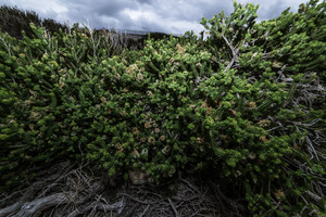 Growing plants in Torndirrup National Park. Albany Western Australia