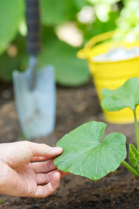 Growing (Squash) Plants in a Garden
